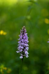 Common spotted orchid (tonybill) Tags: flowers gardens miscellaneous ramster sonya7riii surrey voigtlanderapolanthar65mmf2 voigtlandernoktonclassic40mmf14 bokeh