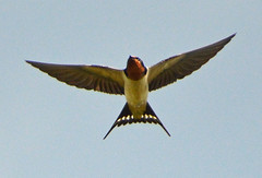 Barn Swallow at the pond (ctberney) Tags: barnswallow hirundorustica bird flying sky wings tail fast small nature