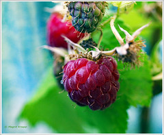 Himbeeren frisch vom auf meinem Balkon (magritknapp) Tags: himbeeren framboise raspberry frambuesas framboesas lampone framboos hallonen hindbær malina macro