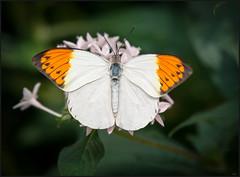 Ile de Mainau, Lac de Constance, Allemagne (Nathalie Racoussot) Tags: constance allemagne olympus iledemainau papillon