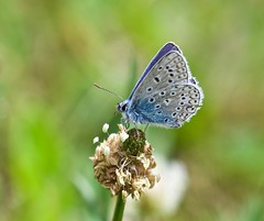 Common Blue Butterfly (2 of 2) - Taken at Sywell Country Park, Sywell, Northamptonshire. UK. (Ian J Hicks) Tags: