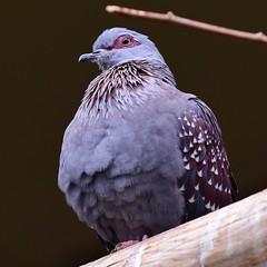 Diamond Dove (R.A. Killmer) Tags: niagara falls ontario canada bird feathers diamond dove beauty fly wings beak talons grey spots avian aviary