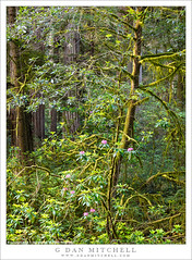 Redwood and Rhododendron (G Dan Mitchell) Tags: north coast redwood forest grove rhododendron plant tree bloomblossom flower dense nature landscape jedediahsmith state park national northern california usa america spring