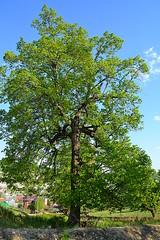 Spread and tall linden II (МирославСтаменов) Tags: russia zhiguli mogutova linden tree crown