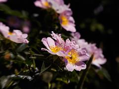 Ein rosiger Gruß zum Wochenende (mohnblume2013) Tags: heckenrose rosa rose bokeh lensbaby