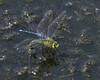 Emperor Dragonfly : Anax imperator (Jerry Hawker) Tags: emperordragonfly anaximperator common attacking blue redeyeddamselfly dragonfly damselfly dragon