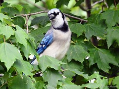 Blue Jay Posing in the Maple Leaves (Anne Ahearne) Tags: wild bird animal nature wildlife maple leaves tree blue jay beautiful songbird birdwatching