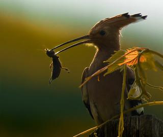 (Eurasian) hoopoe [Upupa epops] with European mole cricket