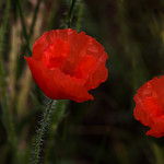 Roter Klatschmohn - Red Poppies thumbnail