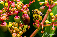 Bytjie (peter.jaquire) Tags: honey bee succulent flower