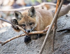 """Aren't I cute?"" (Stephen J Stephen) Tags: kit mammal nepean ottawa redfox spring young"