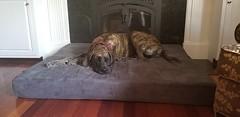 Khaleesi (BigBarker) Tags: mastiff 1