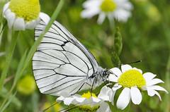 Aporia crataegi 2016-2 (lindnys) Tags: picosdeeuropa crataegi sortårethvidvinge sommerfugl butterfly cordiñanesdevaldeón castillayleón spain es