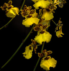 Oncidium Orchids (Dancing Ladies) (Ray in Manila) Tags: dancingladies flower oncidium garden philippines macro tropical exotic plant yellow blackbackground flora eos650d ef50mm