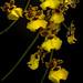 Oncidium Orchids (Dancing Ladies)
