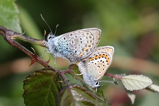 Silver-studded Blue [Pair]
