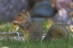 Squirrel (Cruzin Canines Photography) Tags: animal animals canon canoneos5ds canon5ds canine 5ds eos5ds tamron tamronsp150600mmf563divcusd squirrel outdoors outside naturallight wildlife wild wildanimal wildanimals mammal cute colorado coloradosprings portrait closeup