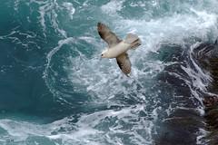 Ouessant, fulmar boréal. Explore, June 20, 2018 #352 (glemoigne) Tags: bretagne breizh brest brittany bzh bretaña bretanya bird birdwatching ornithologie oiseau ouessant ushant finistère penarbed 29 gilbertlemoigne glemoigne wave surf fulmar northernfulmar seabird procellaridae fulmarusglacialis