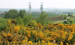 Broom and Gorse (m_c_b) Tags: nottinghamshire vicarwatercountrypark mansfield clipstonecolliery