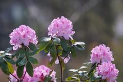 Rhododendron    Schneider Kreuznach Xenon 1:2 / 50 (情事針寸II) Tags: schneiderkreuznachxenon1250