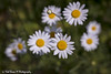 20180521-3207-Margriet (Rob_Boon) Tags: bloem eyserbos margriet plant fower robboon