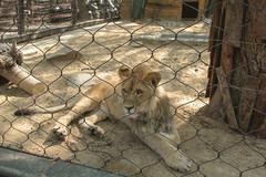 *** (i13rbk) Tags: fareast zoo khabarovsk zoogarden animals spring amur park forest shore leo