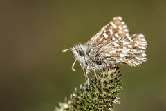 Pyrgus malvoides (Jaume Bobet) Tags: pyrgus malvoides lepidoptera hesperiidae mariposa insecto macro bobet canon sigma