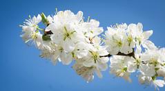 Cherry Blossom (littlestschnauzer) Tags: spring blossom white floral blooms flowers tree cherry springtime uk yorkshire 2018 nature trees flowering contrast blue sky sunshine sun