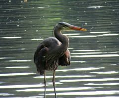 Heron on Lake Padden (Karen Molenaar Terrell) Tags: heron birds pacificnorthwest bellingham lakepadden washingtonstate karenmolenaarterrell