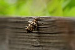 DSC00829.jpg (joe.spandrusyszyn) Tags: oaklandnaturepreserve bagwormmoth byjoespandrusyszyn psychidae unitedstatesofamerica nature lakeapopka lepidoptera florida orlando insect animal arthropod moth