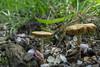 """Harde Voorjaarssatijnzwam (Entoloma Clypeatum) - Arboretum """"Het Leen"""" - Eeklo - Belgium (wietsej) Tags: harde voorjaarssatijnzwam entoloma clypeatum arboretum hetleen eeklo belgium sony paddenstoel mushroom fungus macro nature a6000 zeiss sel24f18z 24 18"""