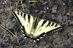 Giant Swallowtail (RonG58) Tags: giantswallowtail bridgton swallowtail pondicherrypark butterfly bugs insects macro elinsecto elbicho konchuu dasinsekt wildlife maine rong58 usa images spring pictures photooftheday day image color photography photo photos us light trip nikon picture digitalcamera picoftheday nikoncoolpixp900 coolpix photograph new live geotagged nature travel exploration