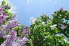 Wind in the Lilacs (gabi-h) Tags: lilacs lilactime purple white flowers gabih princeedwardcounty wind greenleaves bluesky blue clouds spring sunshine