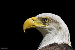 AEF - Bald Eagle - Challenger 1 (Jason Blalock) Tags: haliaeetusleucocephalus eagle bladeagle americanbaldeagle americaneagle bird raptor avian birdofprey challenger aef americaneaglefoundation