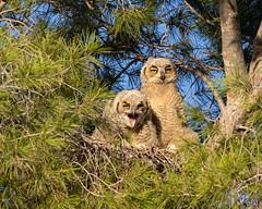 Coughing (dan.weisz) Tags: greathornedowl owl nest owlet bird birdsofprey raptor tucson nikond7200