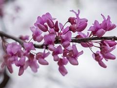 Eastern Redbud tree (billcoo) Tags: xf80mm fujifilm bokeh flowers cercis canadensis pink