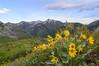 Wildflower Season (aaronrhawkins) Tags: wildflower nature provo utah hike buffalopeak peak trail wasatch yellow bloom spring summer plant cascade aaronhawkins climb top summit slope