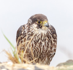 Peregrine Falcon (tresed47) Tags: 2018 201805may 20180509njforsythebirds birds canon7d content ebforsythenwr falcon folder may newjersey peregrinefalcon peterscamera petersphotos places season spring takenby us ngc