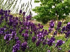 Evening full of aroma 💟💚💟 Happy weekend! (Dušan Baksa) Tags: lavender fragrance