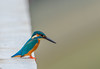 Kingfisher (Changer4Ever) Tags: nikon d750 150600mm bird animal life nature outdoor color bokeh dof depthoffield feather wildlife 150600mmf5063 kingfisher