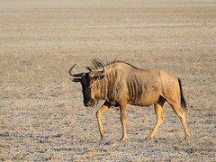 Blue wildebeest (Nanooki ʕ•́ᴥ•̀ʔっ) Tags: namibia ©suelambertlrpscpagb oshikotoregion na nature wildlife gnu africa etoshanationalpark