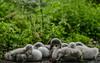 Snoozing / stretching (PChamaeleoMH) Tags: birds centrallondon london stjamesspark swans cygnets