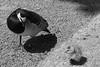 Zoo 29 (fascinating-ladybird) Tags: pairidaiza belgium zoo animals blackwhite duck bird babyanimal babyduck
