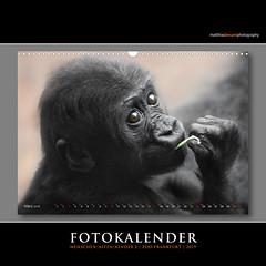 FOTOKALENDER (Matthias Besant) Tags: kalender fotokalender kalenderblatt gorilla bonobo baby kind tierkinder tierbabys menschenaffe tierportraits tierporträts porträts zoo zoofrankfurt matthiasbesant matthiasbesantphotography calvendo