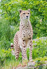 Have you seen what's going on over there? (celia.mulhearn) Tags: cheetah dartmoorzoo devon bigcats sigma18200mm