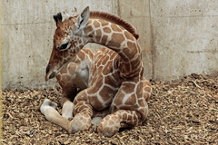 IMARA, netgiraffe (K.Verhulst) Tags: reticulatedgiraffe netgiraffe somalischegiraffe giraf giraffe imara blijdorp blijdorpzoo diergaardeblijdorp rotterdam