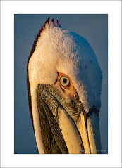 Pelican Head (prendergasttony) Tags: nikon sea blue outdoor beach pier webbed feet pouch florida america d7200 brown feathers bird water sky ocean portrait eye beak tonyprendergast nature wildlife head closeup