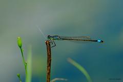 Belle demoiselle (jpto_55) Tags: odonate libellule insecte macro bokeh xe1 fuji fujifilm fujixf55200mmf3548rlmois hautegaronne france flickrunitedaward ngc agrionélégant ischnuraelegans