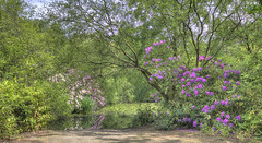 Summer in Knighton Wood cropped ver (ArtGordon1) Tags: knightonwood eppingforest summer june 2018 woodland forest trees rhododendron rhododendrons nature davegordon davidgordon daveartgordon davidagordon daveagordon artgordon1