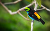 Tangara chilensis (Aisse Gaertner) Tags: tangarachilensis p900 nikon ngc birdwatching bird brazil birdwatcher amazon z